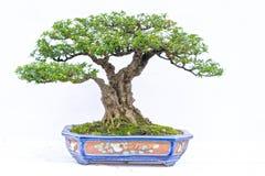 Grönt gammalt bonsaiträd som isoleras på vit bakgrund i en krukväxt i formen royaltyfria bilder