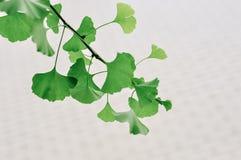 Grönt ginkgoblad i vårtid royaltyfri bild