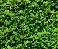 Grönt gräs Bakgrund Fotografering för Bildbyråer
