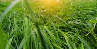 Grönt gräs, dagg, grön bakgrund, våren, sommar som är saftig, färger, luktar gräset, blommor som är dekorativa, fantasi Arkivfoton