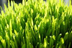 Grönt gräs för friskhet med daggslut upp arkivbilder
