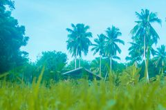 Grönt gräs för mjuk fokus, lite koja, kokospalmbakgrund Royaltyfri Bild