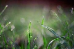 Grönt gräs för morgon som täckas av daggdroppar Arkivbilder