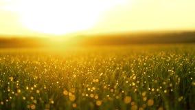 Grönt gräs för ny vår med dagg i morgonsolen slät rörelse stock video