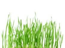 Grönt gräs för ny vår med droppar av dagg, groende av vete som isoleras på vit bakgrund Arkivbild