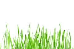 Grönt gräs för ny vår med droppar av dagg, groende av vete som isoleras på vit bakgrund Arkivfoto