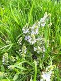 Grönt gräs för ny vår och små gulliga lila blommor fotografering för bildbyråer
