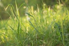 Grönt gräs för sommar i solljusnärbilden, makro mot bakgrund field bl?a oklarheter f?r gr?n vitt wispy natursky f?r gr?s fotografering för bildbyråer