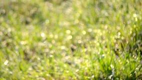 Grönt gräs för suddig bokehbakgrund, dagg lager videofilmer