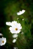Grönt gräs för vita blommor Royaltyfri Bild