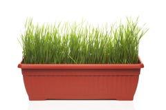 Grönt gräs i blomkruka Arkivbilder