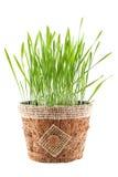 Grönt gräs i den bruna krukan som isoleras på vit bakgrund arkivbild