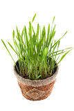 Grönt gräs i den bruna krukan som isoleras på vit bakgrund Sikt från Arkivfoto