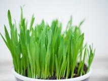Grönt gräs i en kruka Royaltyfria Bilder