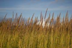 Grönt gräs i fältet mot den blåa himlen close upp v?xer vete Gr?s och sky royaltyfri bild