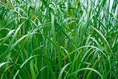 Grönt gräs i morgondagget Makro Arkivbilder