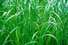 Grönt gräs i morgondagget Makro Royaltyfri Bild