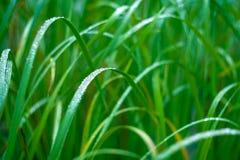 Grönt gräs i morgondagget Makro Arkivfoto