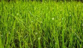 Grönt gräs i parkeraslutet upp Daggdroppar stänger sig upp på nytt grönt vårgräs Solig dag för morgon abstrakt bakgrundsnatur Arkivbild