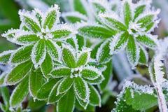 Grönt gräs i rimfrost Royaltyfri Fotografi
