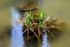 Grönt gräs i sjön Royaltyfri Fotografi