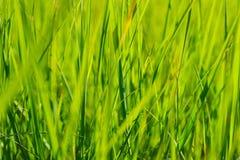 Grönt gräs i solsommarsolljus på suddighetsbakgrunder Royaltyfri Bild