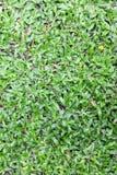Grönt gräs i trädgård Arkivbild