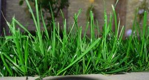 Grönt gräs i trädgården fotografering för bildbyråer