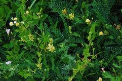 Grönt gräs med blommor i dagget efter regnet i ett fält royaltyfri fotografi