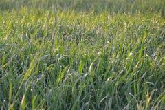 Grönt gräs med dagg Arkivfoton