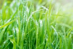 Grönt gräs med daggdroppar i otta Solstrålar på bacen Royaltyfria Foton