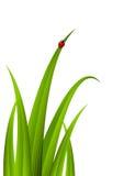 Grönt gräs med den röda nyckelpigan