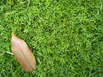 Grönt gräs med det bruna bladet Fotografering för Bildbyråer
