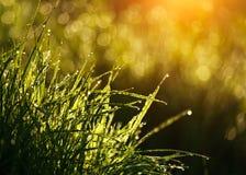Grönt gräs med droppar av dagg på soluppgång i vår i solljusbakgrundsskönhet av naturen som väcker vegetation arkivbilder