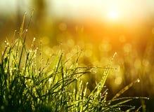 Grönt gräs med droppar av dagg på soluppgång i vår i solljusbakgrundsskönhet av naturen som väcker vegetation fotografering för bildbyråer