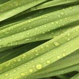 Grönt gräs med droppar av vatten Royaltyfria Foton