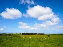 Grönt gräs med flockar av får Arkivbild