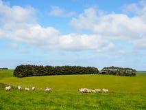 Grönt gräs med flockar av får Royaltyfria Bilder