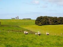 Grönt gräs med flockar av får Royaltyfri Fotografi