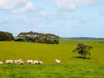 Grönt gräs med flockar av får Fotografering för Bildbyråer