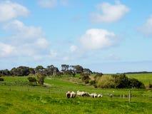 Grönt gräs med flockar av får Arkivfoto