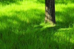 Grönt gräs med trädet på sommar parkerar in under soligt ljus Royaltyfria Bilder