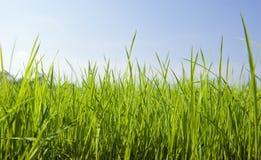 Grönt gräs med trevlig himmel Arkivbild