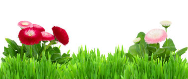 Grönt gräs med tusenskönablommor gränsar Arkivbilder