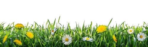 Grönt gräs med vårblommor Naturlig bakgrund royaltyfri bild