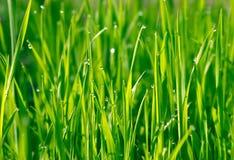 Grönt gräs med vattendroppar Royaltyfri Bild