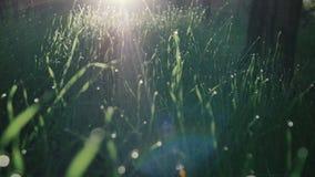 Grönt gräs och droppar av morgondagg stock video