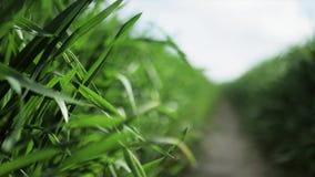 Grönt gräs och droppar nära banan av morgondagg, 4K arkivfilmer