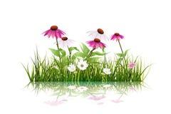 Grönt gräs och echinaceaen (purpurfärgad coneflower) blommar, den vita tusenskönan, vildblomma med reflexion stock illustrationer