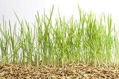 Grönt gräs och kärnar ur Fotografering för Bildbyråer